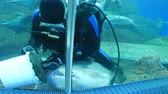 remora : Pattaya, Thailand - January 23, 2018: Scuba diver feeds sharks and other large fish in the aquarium with transparent glass