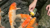 peixe dourado : Female hand feeds from a bottle of Japanese red carp Stock Footage
