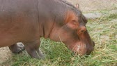 suaygırı : Hippos eat grass in zoo