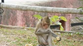 indian eastern : Monkey sits right on the street and eats Stock Footage