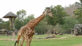 жираф : African savanna animals graze in glade of the world famous khao kheo zoo in Thailand. Giraffes, buffaloes, ostriches