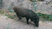 destructive : Black hairy boars eat grass on ground