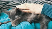 ronronar : Beautiful gray cat lays on the lap of a woman who gently strokes him and he purrs and touches his paws