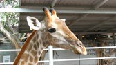 camelopardalis : Giraffes in zoo walk around the aviary Stock Footage