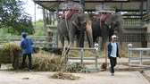 addo : PATTAYA, THAILAND - DECEMBER 30, 2017: Many different indian elephants walk around valery on crocodile farm in Pattaya Stock Footage