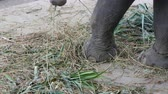 gigantesco : Chained to the ground with chain elephant eating grass with a trunk