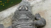 catcheur : Grand crocodile se trouve sur le sol. Ferme de crocodiles
