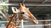 Крюгер : Giraffes in zoo walk around the aviary Стоковые видеозаписи