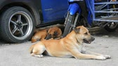 dominant : Two stray dogs lie on the street under blue car. Homeless dogs Stock Footage
