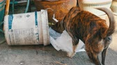 abandoned park : PATTAYA, THAILAND - DECEMBER 16, 2017: Lonely homeless dog is looking for food in a garbage can in the mud of packages and food rests Stock Footage