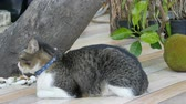 abandoned alley : Beautiful lost gray cat in a collar on a city street near an exotic breadfruit fruit