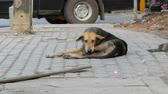 csikk : Homeless dog lies on a city street people pass by and do not notice the dog Stock mozgókép