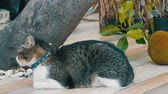 apelo : Beautiful lost gray cat in a collar on a city street near an exotic breadfruit fruit