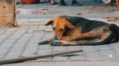 dominant : Homeless brown-black dog lies on street in Thailand Stock Footage