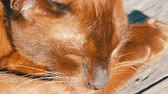 felis : Very beautiful cat of unusual brown color sleeps. The smooth-haired cat lies with closed eyes. Macro close up