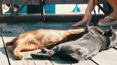 felis : Brown and black cat played biting lick each other outdoors under the suns rays