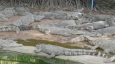 aligátor : Large number of large crocodiles rest on the shore of the lake
