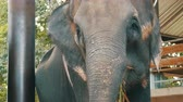 migração : Indian elephant in Thailand, close up view Stock Footage