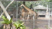 ruminante : Giraffes in zoo walk around the aviary Vídeos
