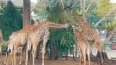 çiğneme : Giraffes in zoo eat in aviary