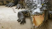 assassino : Large crocodile lies on the ground. Crocodile farm Vídeos