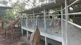 Крюгер : PATTAYA, THAILAND - DECEMBER 30, 2017: Giraffe goes to people and eats from their hands. Crocodile farm. Стоковые видеозаписи