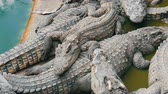 aligátor : Lot of large crocodiles lie on top of each other. Top view . Crocodiles in captivity.