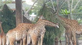 çiğneme : Giraffes in zoo walk around the aviary and eat