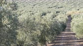 toszkána : Rows of olive trees on the dry land in Spain Stock mozgókép