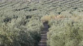 oil industry : Rows of olive trees on the dry land in Spain Stock Footage