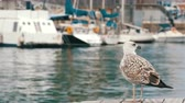 ragadozó madár : Beautiful big white seagull on a background of the sea and sailing. Bay and moorage along which a large white seagull is walking.