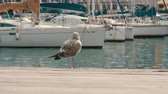 ihlet : Huge seagull on the shore of the wharf walks along the wooden floor Stock mozgókép