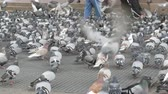 pola : Thousands of diverse city pigeons on streets of Barcelona