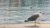 oregon : Huge seagull on the shore of the wharf walks along the wooden floor Stock Footage