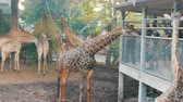 girafa : PATTAYA, THAILAND - DECEMBER 30, 2017: Giraffe goes to people and eats from their hands. Crocodile farm. Vídeos