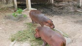 кормление : Hippos eat grass in zoo