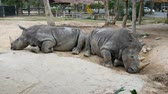 total : Rhino lies on the ground in zoo khao kheo Thailand