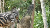 patterned : Zebra eats hay in zoo