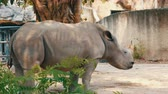rhino poaching : Rhinoceros stands and chews grass in the zoo Stock Footage