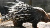 quill : Porcupine with long needles walks around the aviary in the zoo Stock Footage