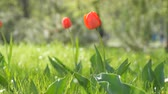 late spring : Beautiful red tulips on background of green spring grass in a forest park Stock Footage