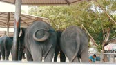 addo : Chained to the ground Indian elephants with seats for tourists on back Stock Footage