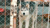 alaskan : Alaskan Malamute with eyes of different colors runs in cage with a lattice