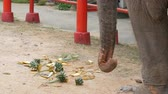 zadnice : Elephant eats food from the ground. The elephant touches the long trunk greens Dostupné videozáznamy