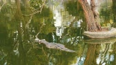crocodilo : The crocodile swims in green water. Crocodile farm Pattaya, Thailand Stock Footage