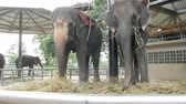 migração : Chained to the ground with chain elephant eating grass with a trunk