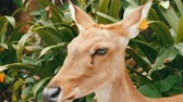 fawn : Beautiful deer sitting in green bush close up view. Hand deer in zoo khao kheo, Pattaya, Thailand