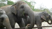 захват : Indian elephants eat grass behind a fence at zoo