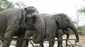 capturados : Indian elephants eat grass behind a fence at zoo