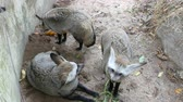 mağara : Family of cave eared foxes in the enclosure of zoo khao kheo Stok Video